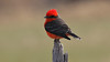 We close with a male Vermilion Flycatcher -- takes our breath away every time! Photo by guide Chris Benesh.