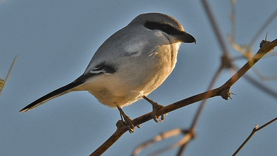 Loggerhead Shrike is still a regular roadside winter find in Arizona. Photo by participant Denise Hackert-Stoner.