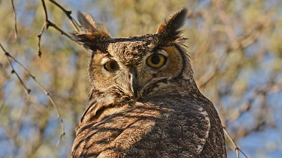 This Great Horned gave us some fine daytime views! Photo by participant Scott Stoner.