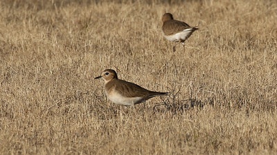 Mountain Plovers are one of the more rarely seen US shorebirds, and see them we did! Photo by guide Chris Benesh.