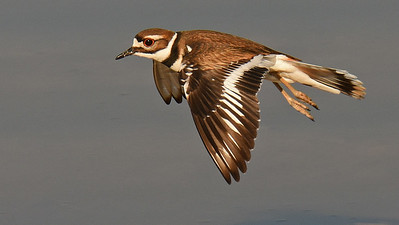 A fine Killdeer portrait by participant Denise Hackert-Stoner.