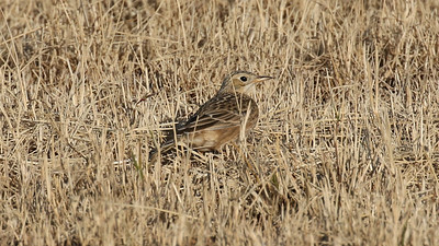 If you know where to look, a winter visit to AZ can be very productive for Sprague's Pipit. Photo by guide Chris Benesh.