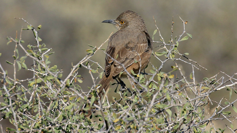 Bendire's Thrasher is a specialty of brushy desert. Photo by guide Chris Benesh.