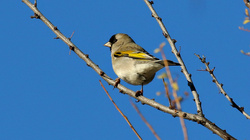 Lawrence's Goldfinch is fairly reliable in Arizona in winter. Photo by guide Chris Benesh.