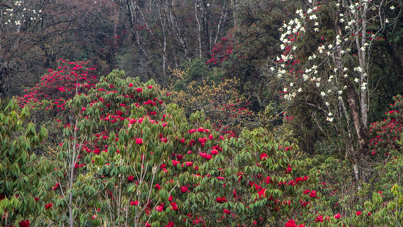 Blooming magnolias and rhododendrons at Yutong La at 9,750' elevation. Photo by guide Richard Webster.