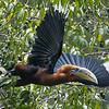 A Rufous-necked Hornbill launches from a fruiting tree below Zhemgang at 5,200'. Photo by guide Richard Webster.