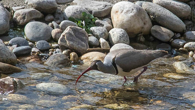 One of Bhutan's iconic birds, the Ibisbill, is a shorebird in a monotypic family. This one was at 7,000' along the Par Chhu river. Photo by guide Richard Webster.
