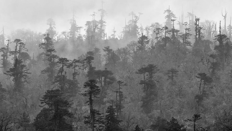 Misty forest above Pele La, where we were fortunate to see both Himalayan Monal and Blood Pheasant at 11,000'. Photo by guide Richard Webster.