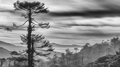 High-elevation forests east of Yotong La at 11,400'. Photo by guide Richard Webster.