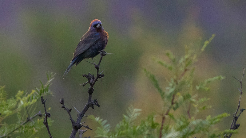 The subtly beautiful Varied Bunting, by guide Doug Gochfeld