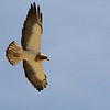 Swainson's Hawk, by participant Jay Gilliam