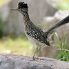 Greater Roadrunner, by participant Jay Gilliam
