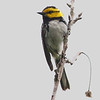 Golden-cheeked Warbler, by participant Jay Gilliam