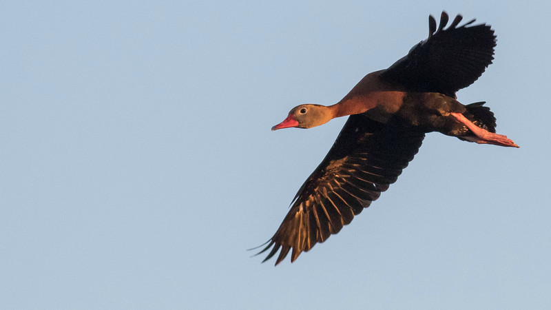 Black-bellied Whistling-Duck at Del Rio, by guide Doug Gochfeld