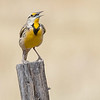 Lillian's Meadowlark, by guide Doug Gochfeld