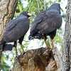Common Black Hawks, by guide Doug Gochfeld