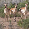 Pronghorn group, by guide Doug Gochfeld