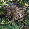 Jaguar, a real possibility on this tour, by guide Marcelo Padua