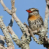 Spot-backed Puffbird in the Pantanal by guide Marcelo Padua
