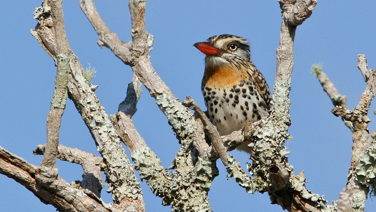 Spot-backed Puffbird in the Pantanal, by guide Marcelo Padua