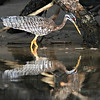 Sunbittern along a quiet waterway, by guide Marcelo Padua