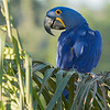 Hyacinth Macaw, symbol of the Pantanal, by guide Marcelo Barreiros