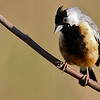 The handsome Coal-crested Finch by guide Marcelo Padua