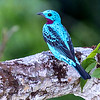 Is that color real? The amazing Spangled Cotinga, by participant Tim Liguori