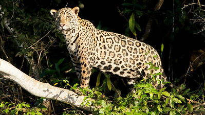 Star of the show: a magnificent Jaguar, by guide Marcelo Barreiros.
