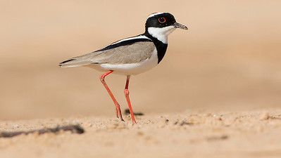An elegant Pied Lapwing on a river sandbar, by guide Marcelo Barreiros.