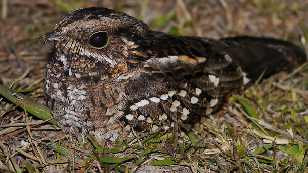 A Little Nightjar on a night outing, by participants David & Judy Smith.