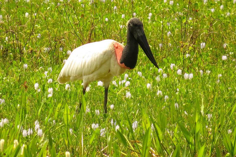 The huge Jabiru stork by participant Susan Disher