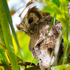 Tropical Screech-Owl by participant David Disher
