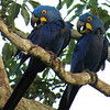 Hyacinth Macaws by participant Susan Disher