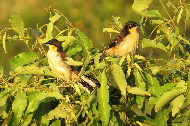 A Black-capped Donacobius pair by participant Susan Disher