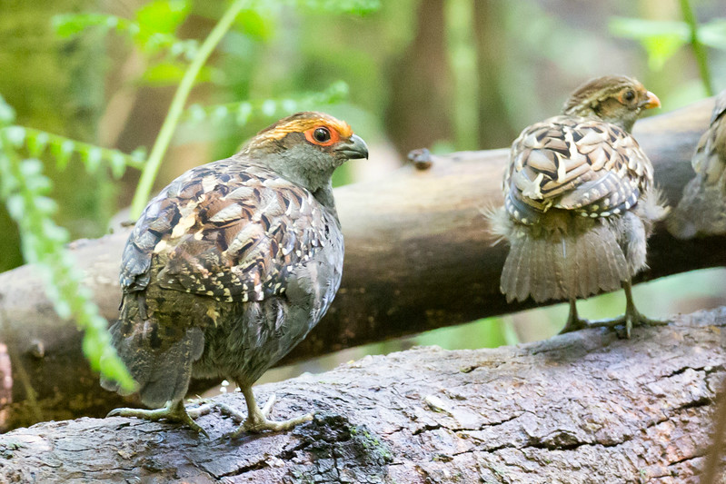 Spot-winged Wood-Quail (in the open!) by participant David Disher