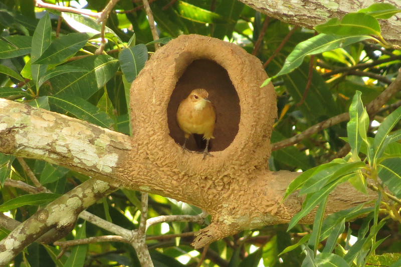 A Rufous Hornero working on its nest, by participant Susan Disher