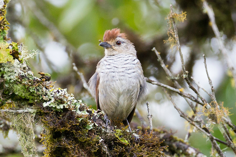 Rufous-capped Antshrike by participant David Disher