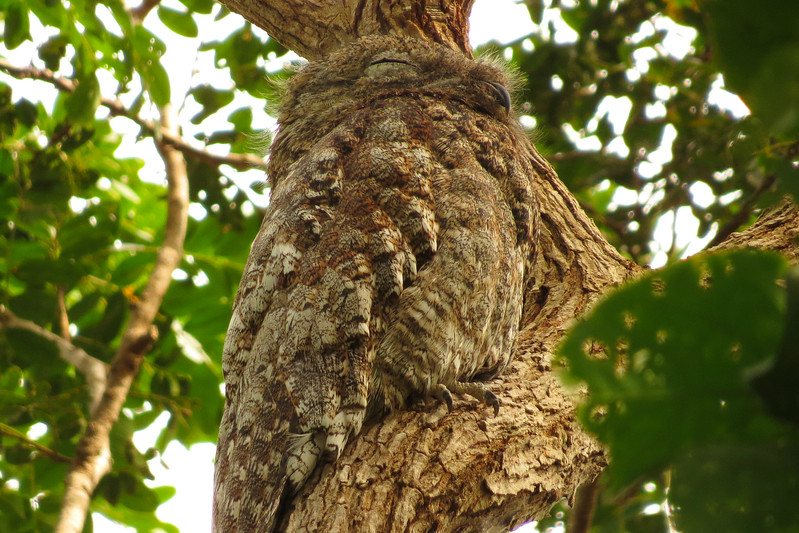 A Great Potoo blends in by participant Susan Disher
