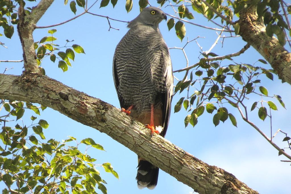A long-legged Crane Hawk, by participant Susan Disher