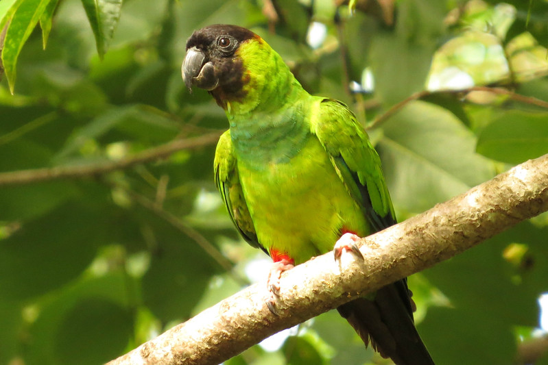 Black-hooded (Nanday) Parakeet, by participant Susan Disher