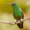 "Green-bellied Hummingbird, the ""tepui"" hummer, by guide Marcelo Barreiros."
