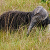 Giant Anteater in the savanna, by guide Bret Whitney
