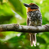 Spotted Puffbird by guide Bret Whitney