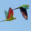 Chestnut-fronted Macaws by participant Valerie Gebert.
