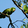 Kowall's Parrots are one of the specialties we seek. Photo by participant Valerie Gebert.