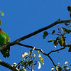 Orange-cheeked Parrot and Crimson-bellied Parakeet by participant Valerie Gebert.
