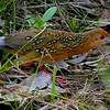 Participant Valerie Gebert captured the Ocellated Crake we saw!