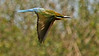 The Blue-tailed Bee-eater is widespread throughout the tour. Photo by participant George Sims.