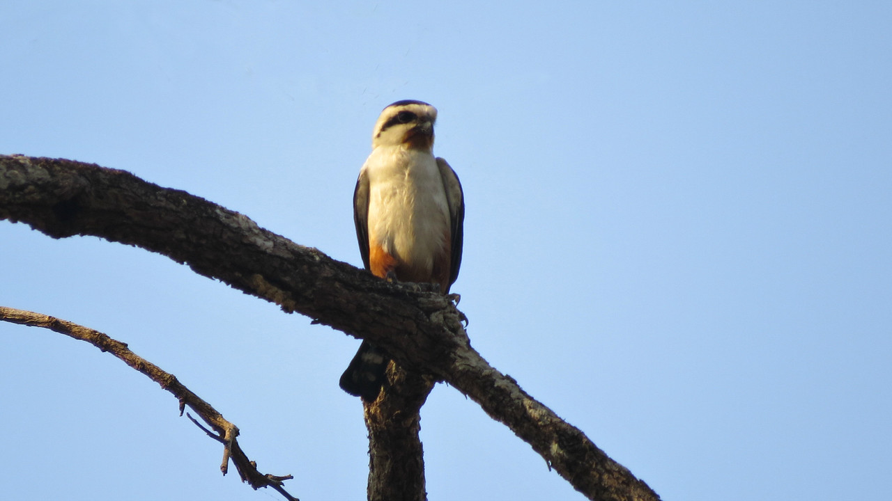 Collared Falconet is a species easily missed, so we were delighted with our fine views. Photo by guide Phil Gregory.